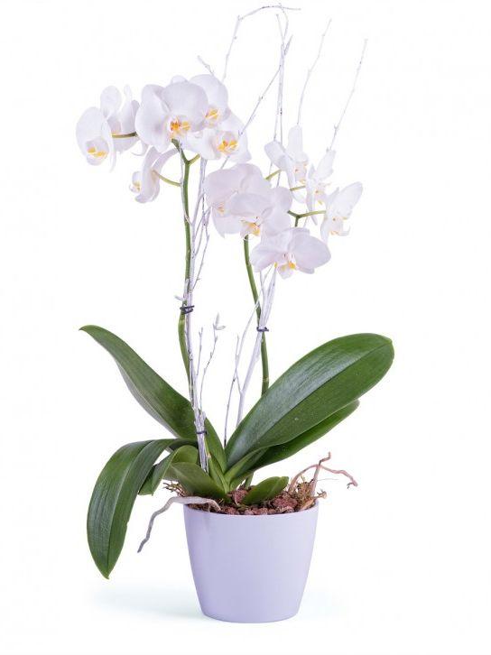 Orquidea Phalaenopsis Blaca